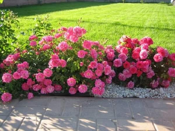 Живой забор из парковых роз